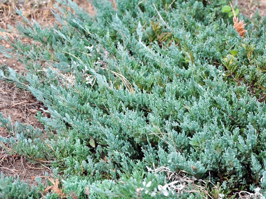 Juniperus Blue Carpet Wiki Carpet Vidalondon