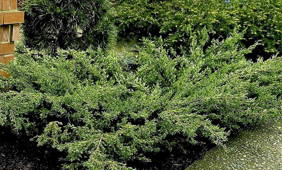 Juniperus Blue Carpet - coniferous ornamental shrub