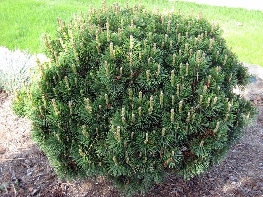 Mombre Juniper Savin Juniperus Sabina Scandia